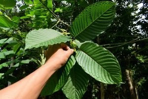 Grote kratom bladeren